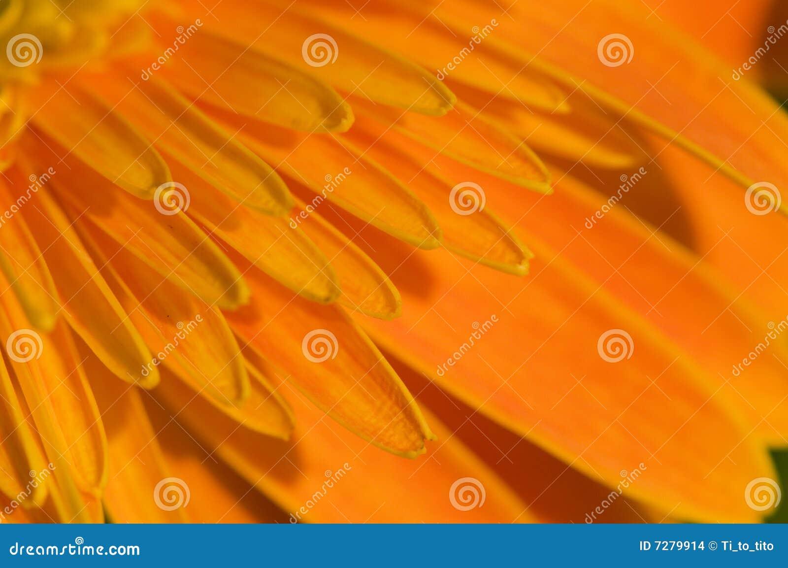 Pétalo de la margarita anaranjada