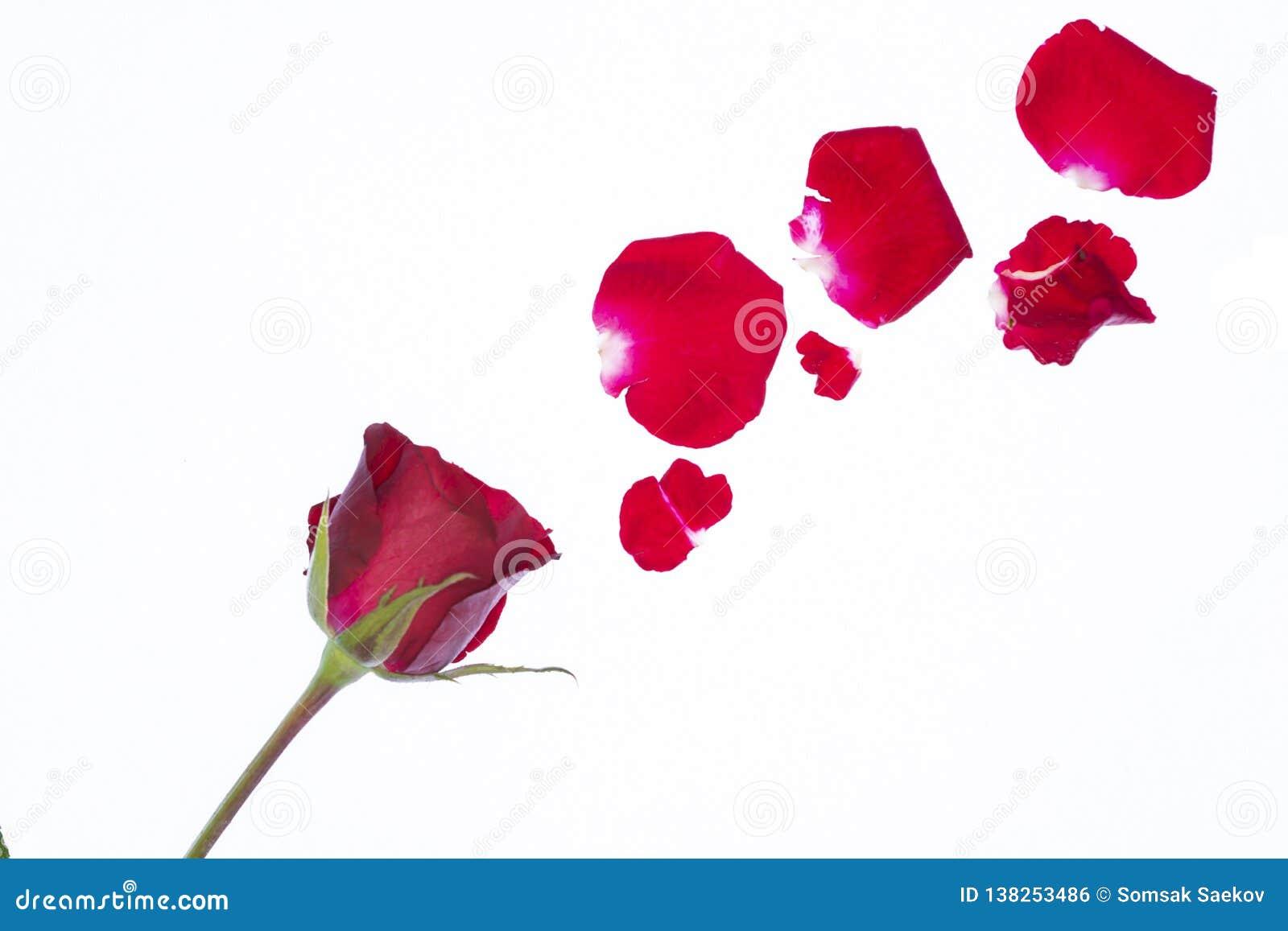 Pétalos color de rosa rojos en el fondo blanco