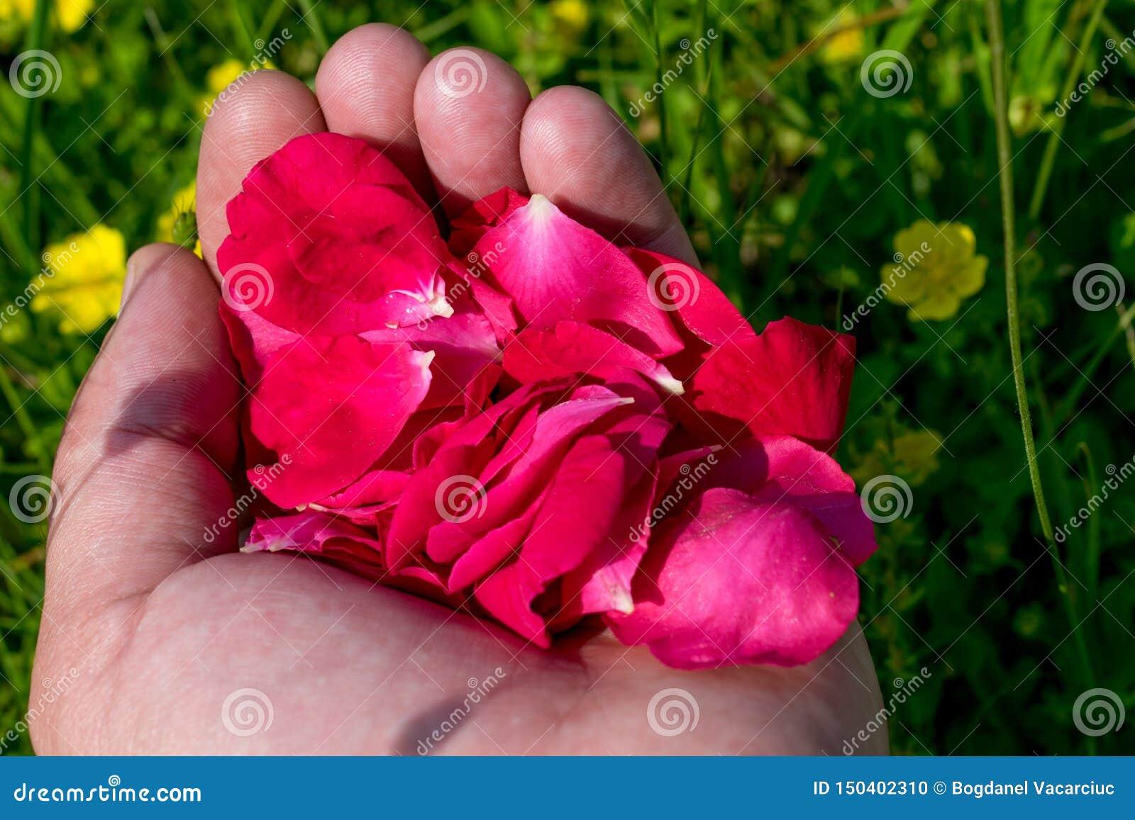 Pétalos color de rosa rojos en las palmas