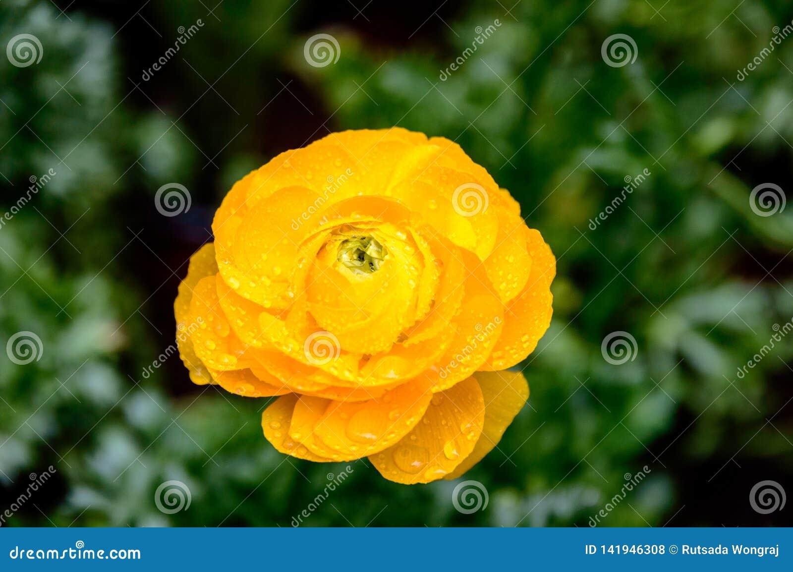 Pétalos hermosos del ranúnculo amarillo en el jardín