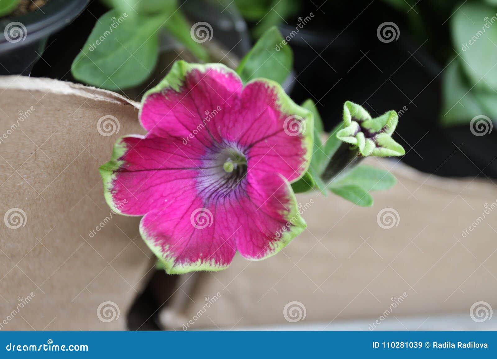 Petunia Fleur Unique De Petunia De Couleur Avec Les Feuilles Vertes