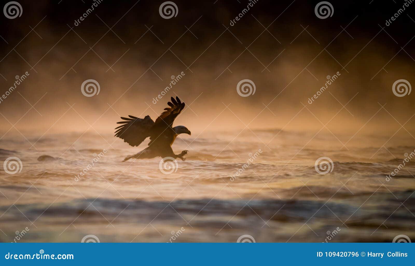 Pêche d aigle chauve