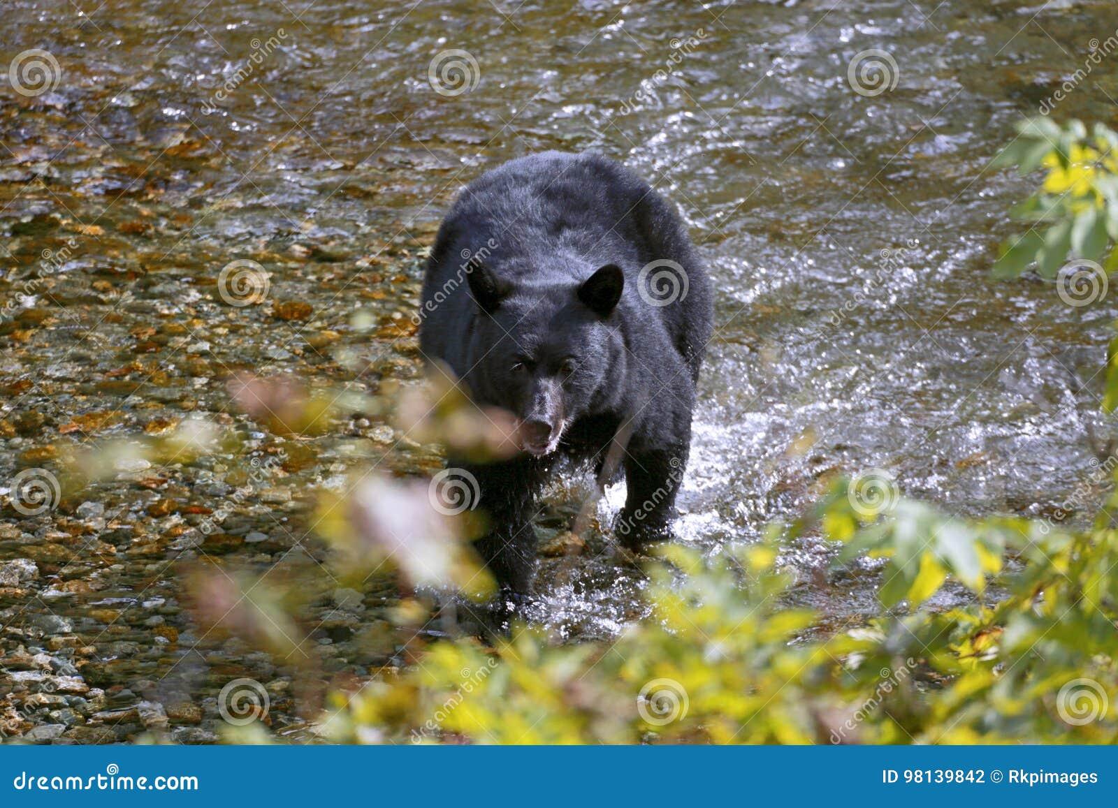 Pêche d ours noir