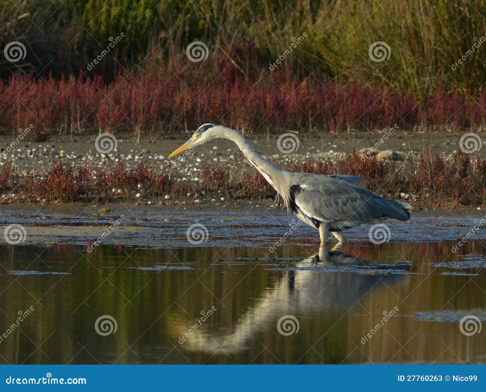 Pêche de héron dans le marais