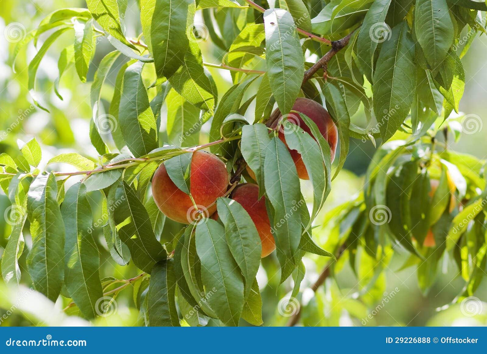 Download Pêssegos maduros foto de stock. Imagem de suculento, fruta - 29226888