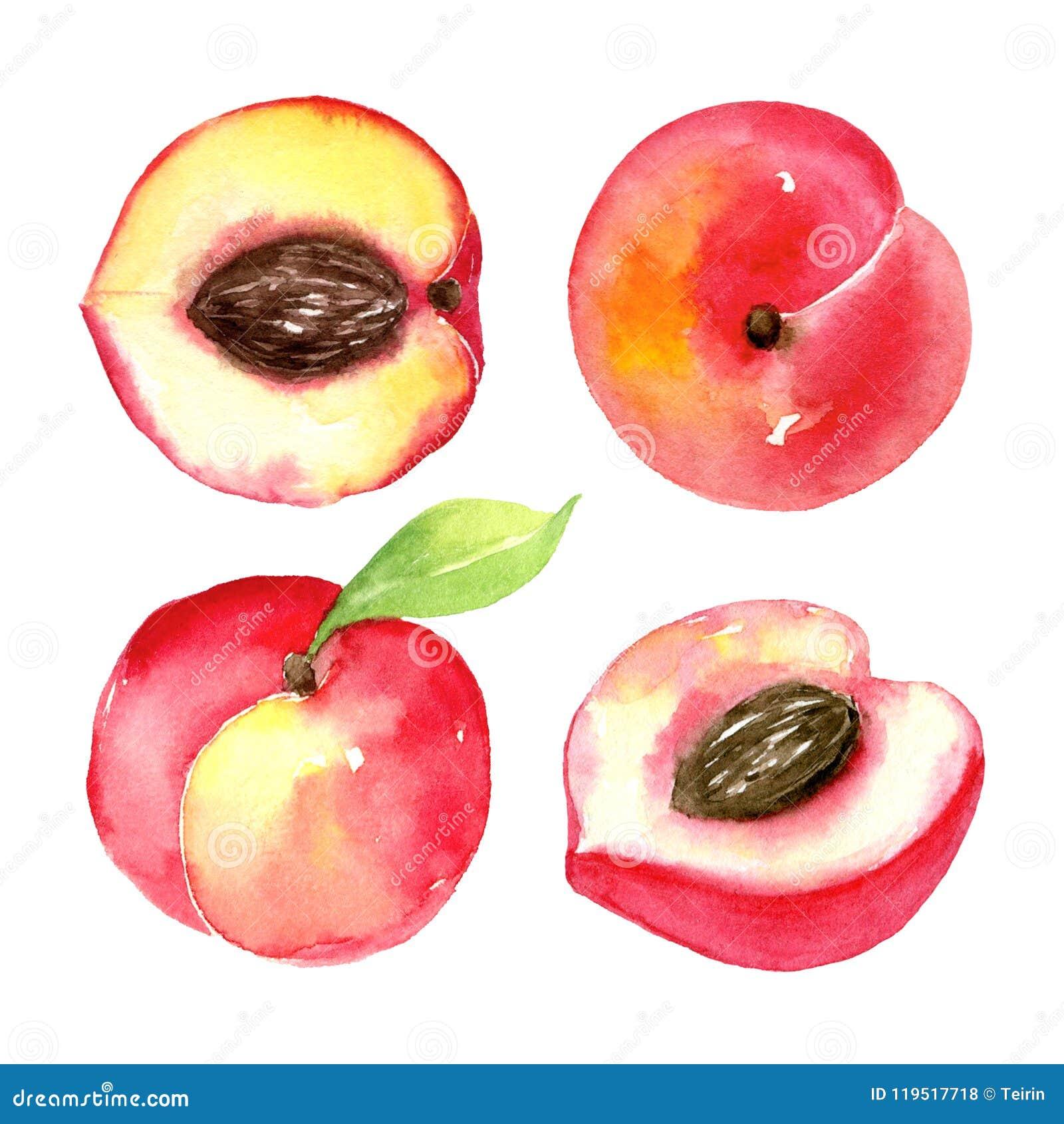 Pêssegos maduros suculentos Frutos cortados isolados no fundo branco Desenho saudável do alimento do verão Aquarela desenhado à m