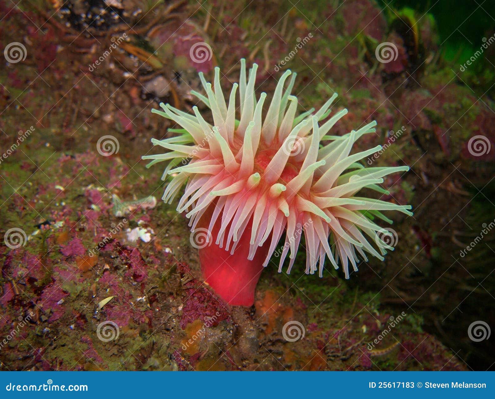 Północny czerwony anemon
