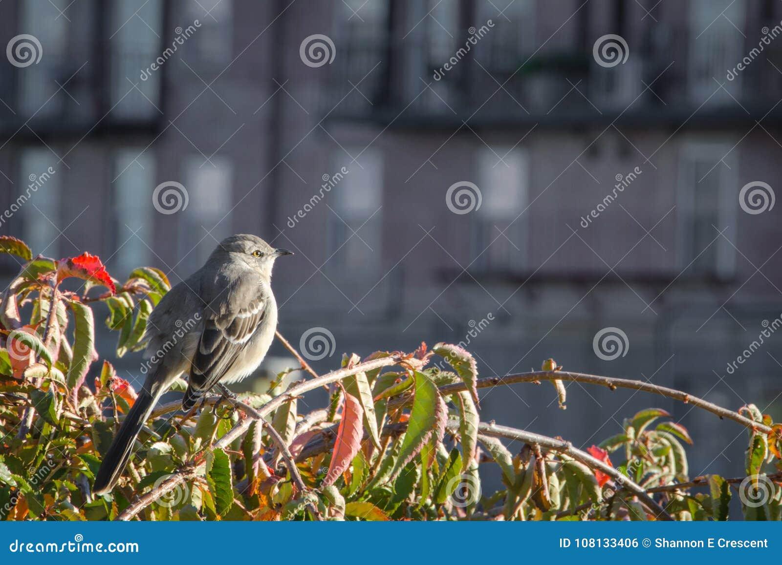 Północny Mockingbird gapi się przy jesień zmierzchem