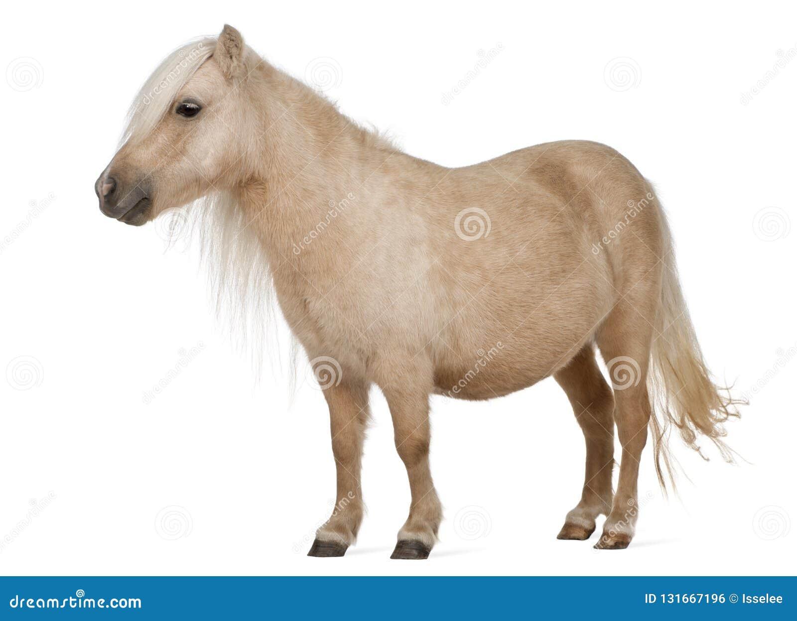 Pônei de Shetland do Palomino, caballus do Equus, 3 anos velho
