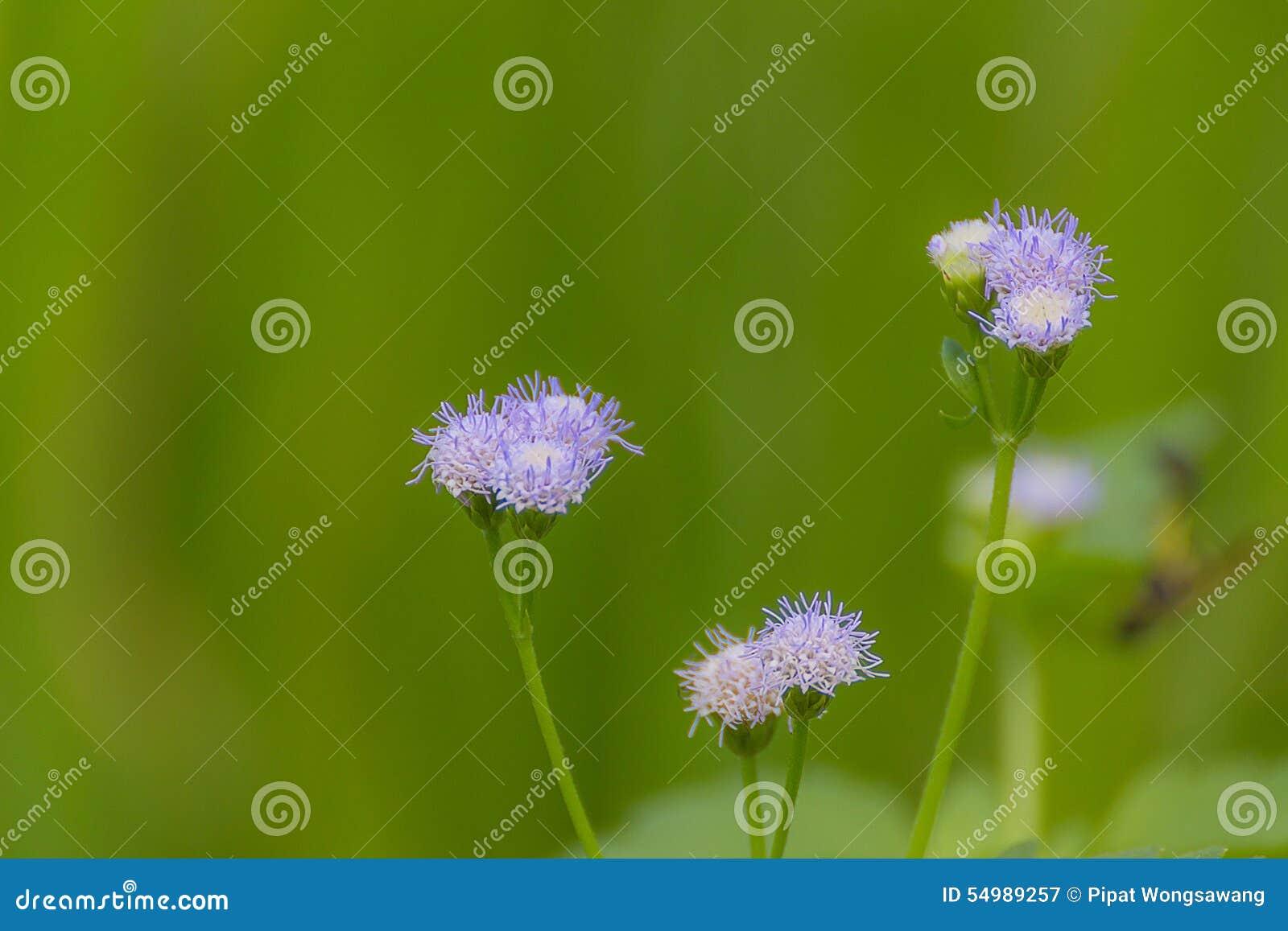 Púrpura del polen de la hierba