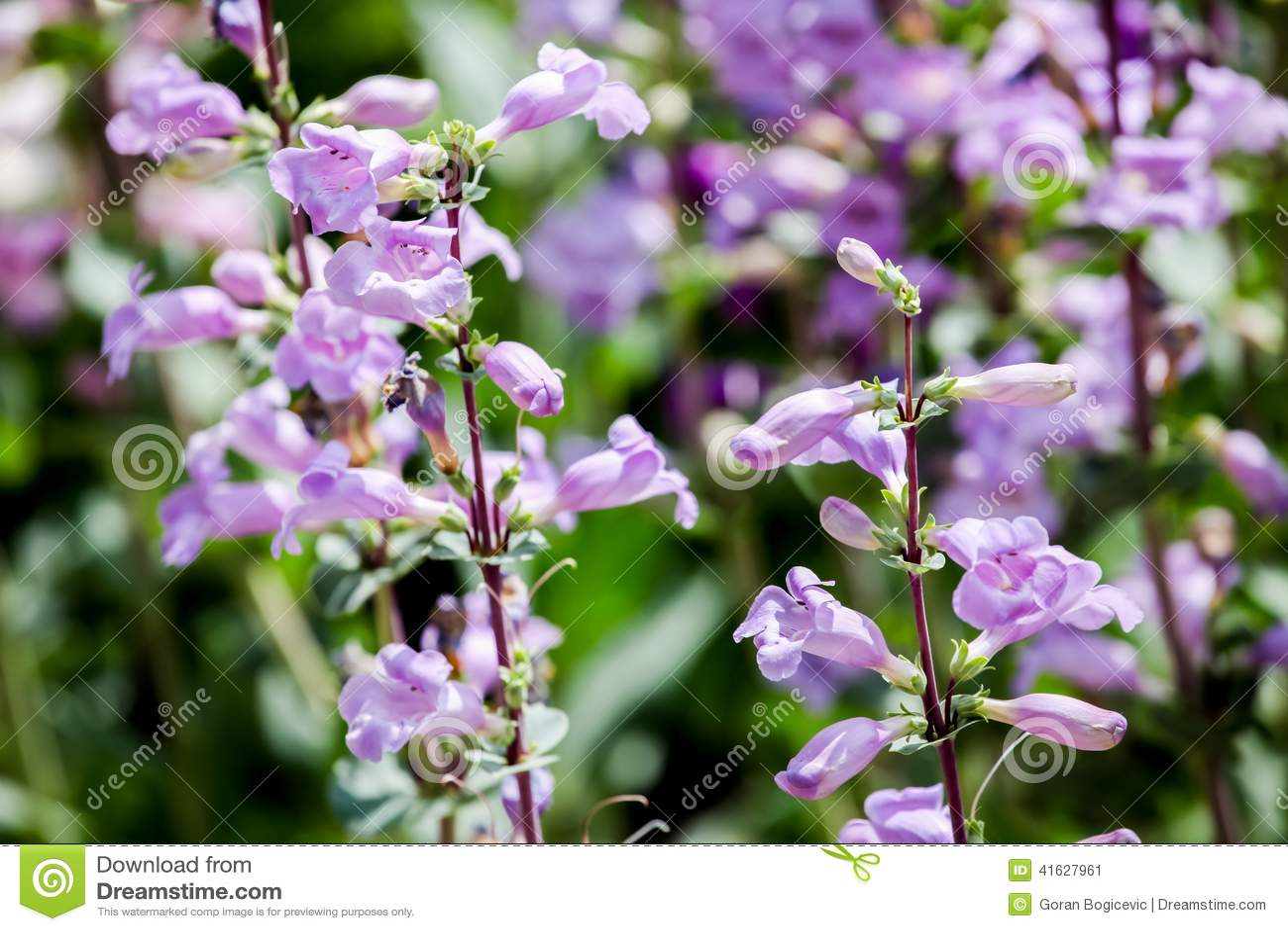 Púrpura máxima de los lucios (mexicali del Penstemon)