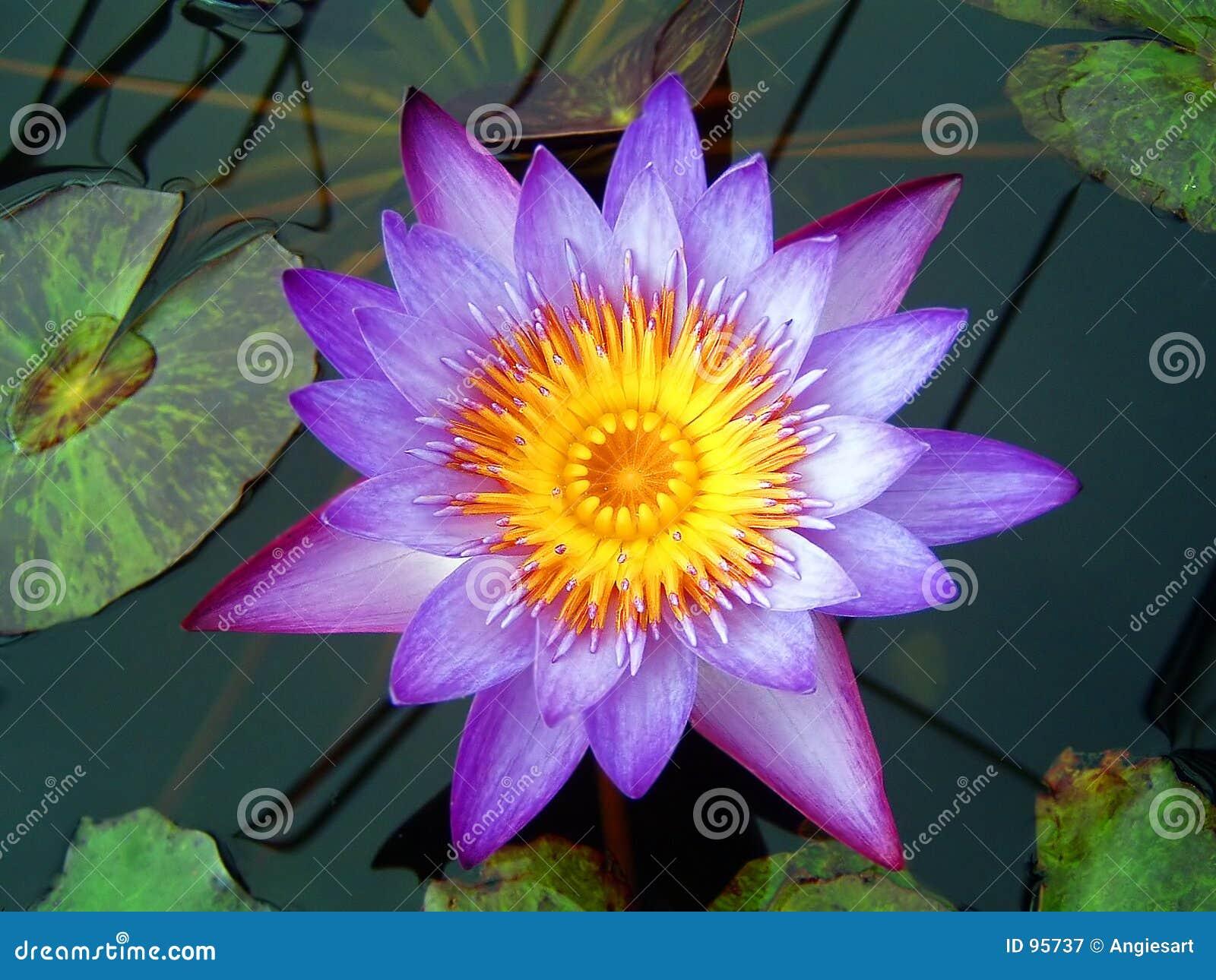 Púrpura waterlily
