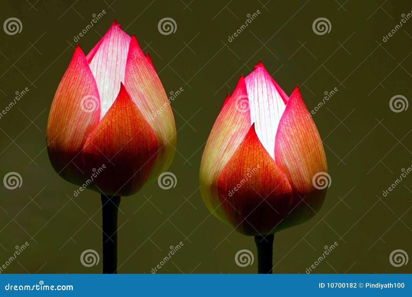 Pączkuje lotosu