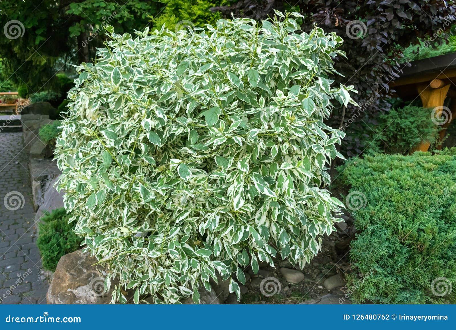 Płacząca figa, beniamin figa, ficus drzewo outdoors Duży Ficus benjam