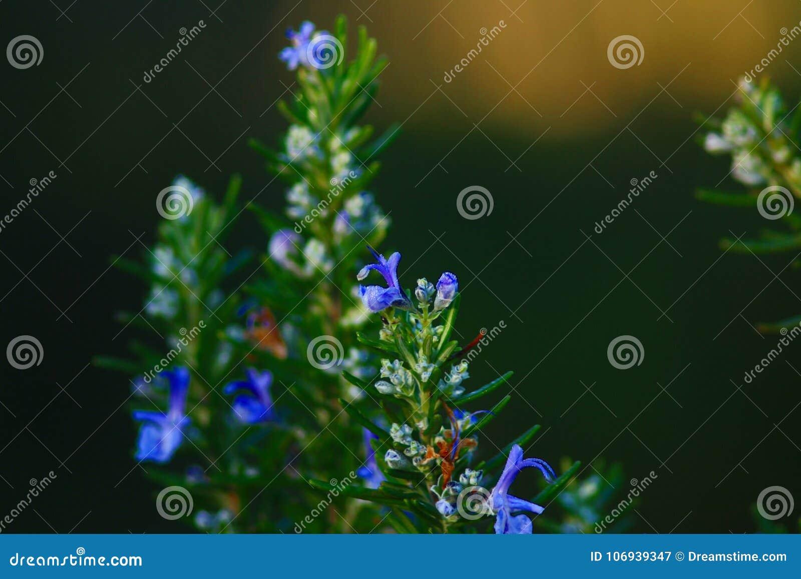 Płacze w kwiacie rozmaryny w Śródziemnomorskiej plamie Włoski półwysep