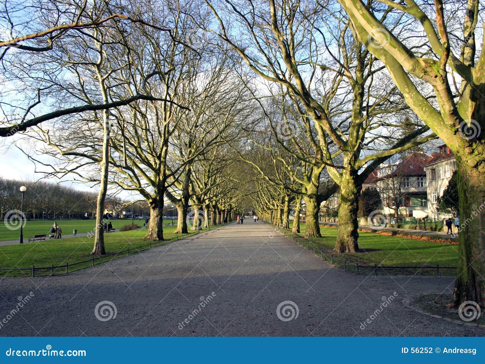 Płaski drzewo avenue