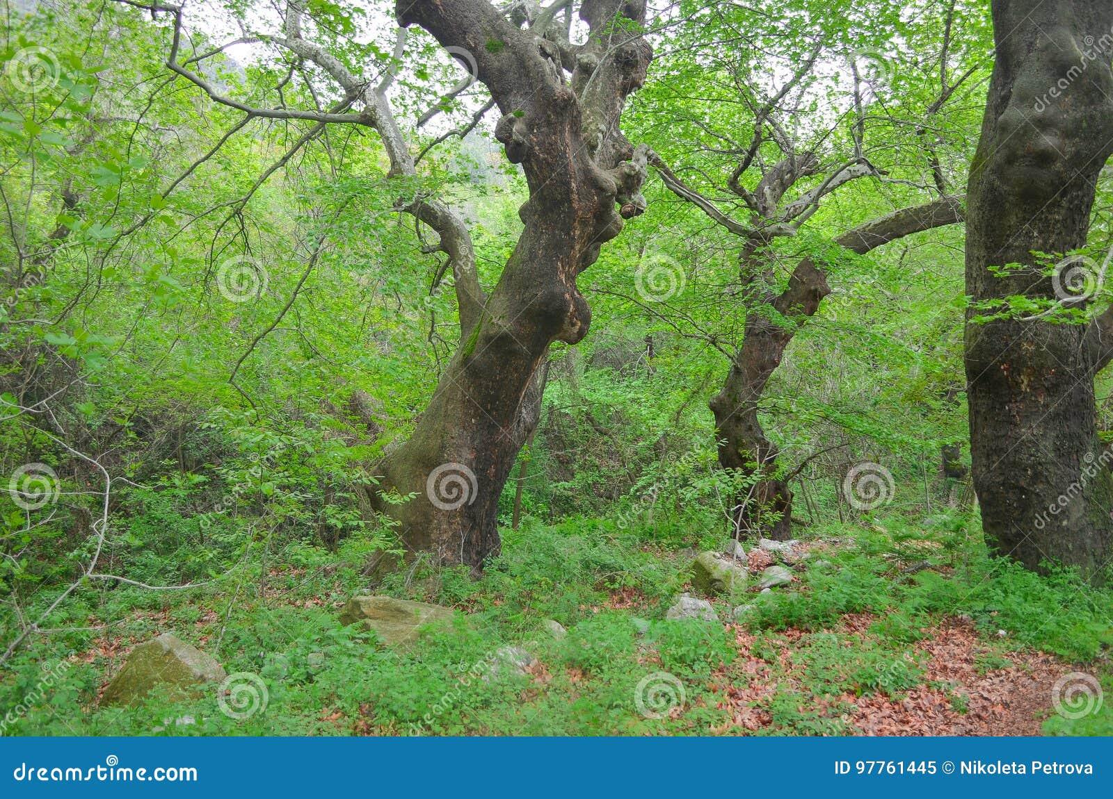 Płaskiego drzewa las
