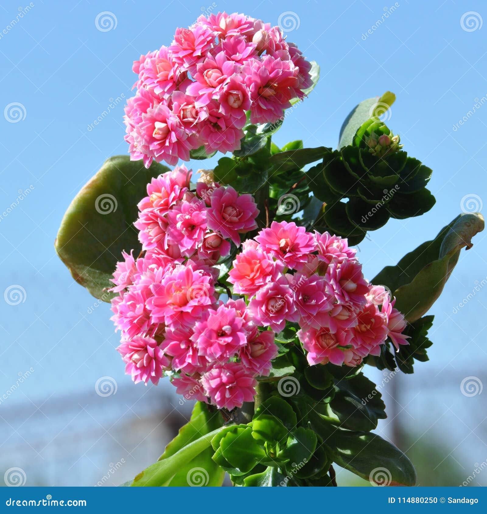 Płonie Katy kwiat