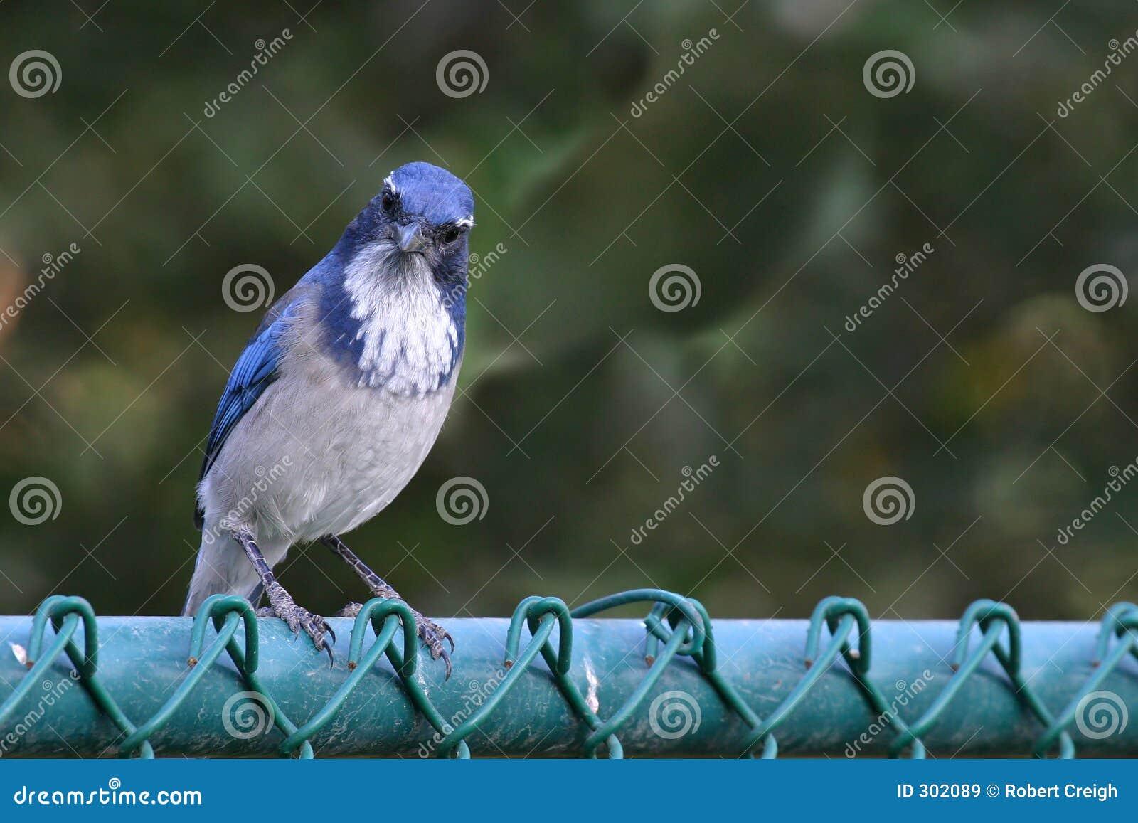Płotowa sójka niebieski