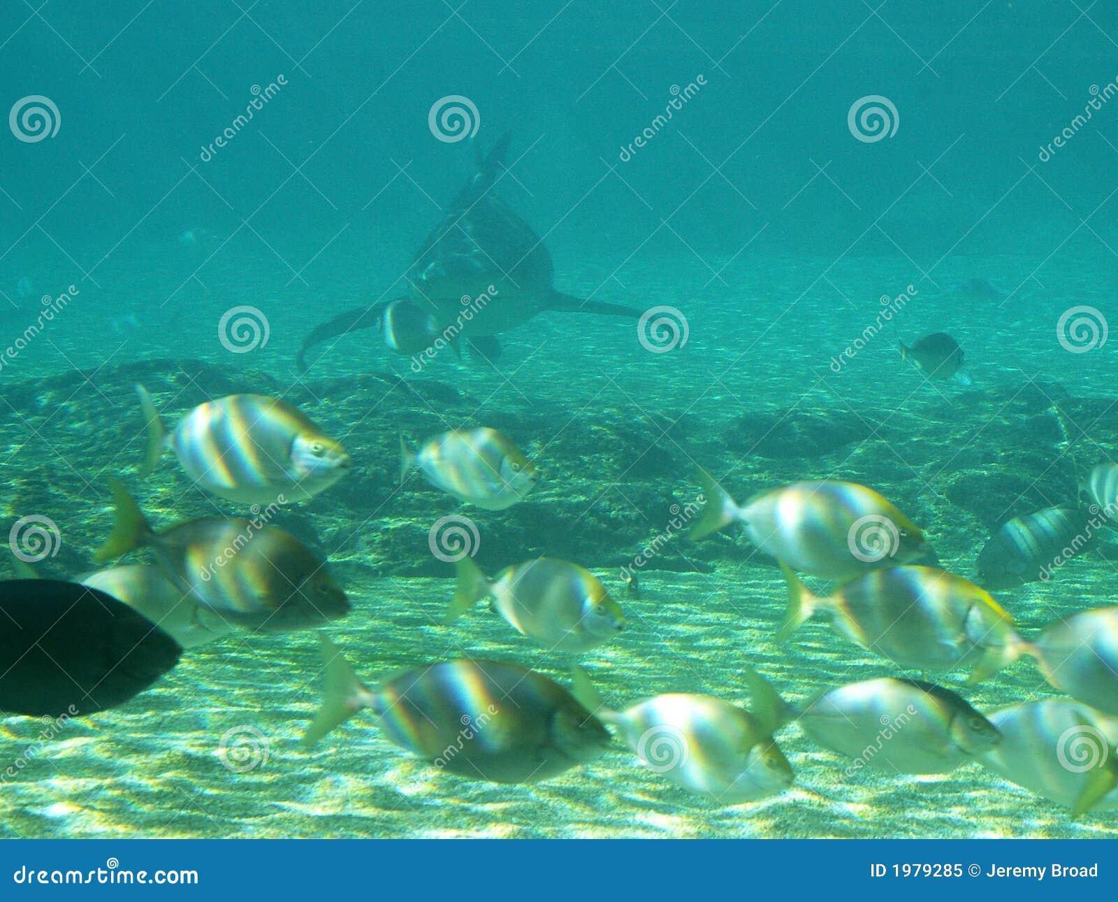 Płytkie wschodzących rekina