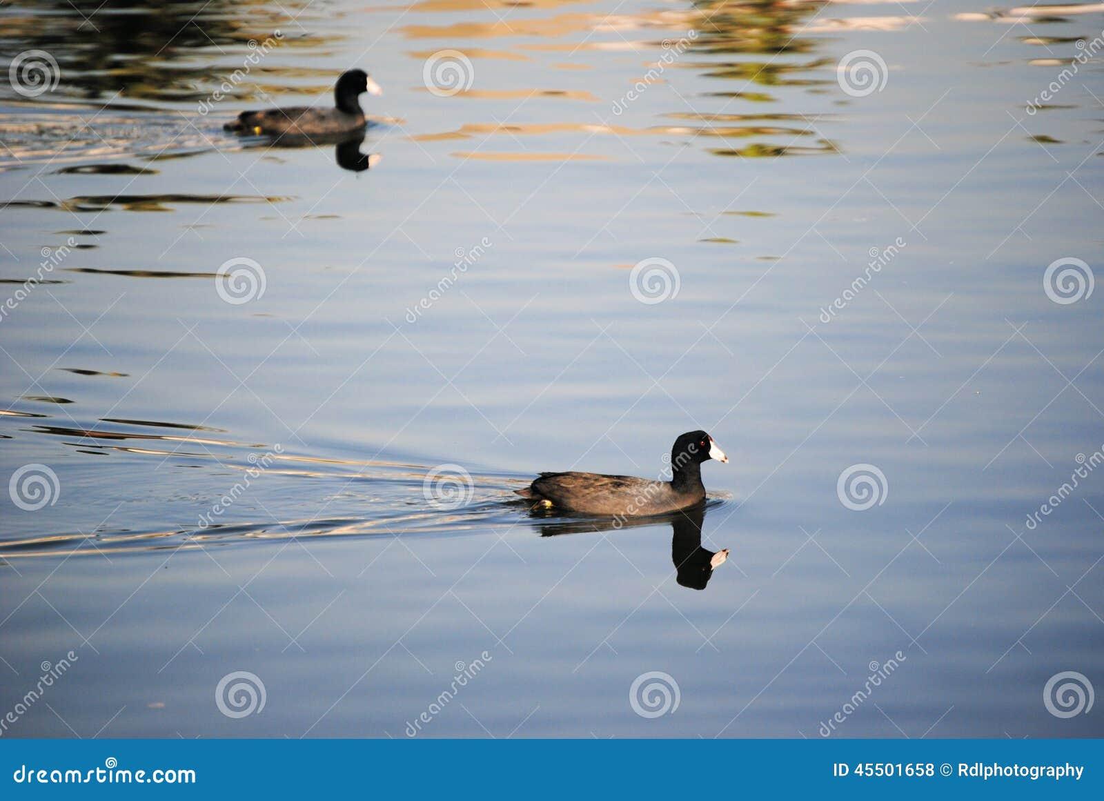 Pływać kaczki