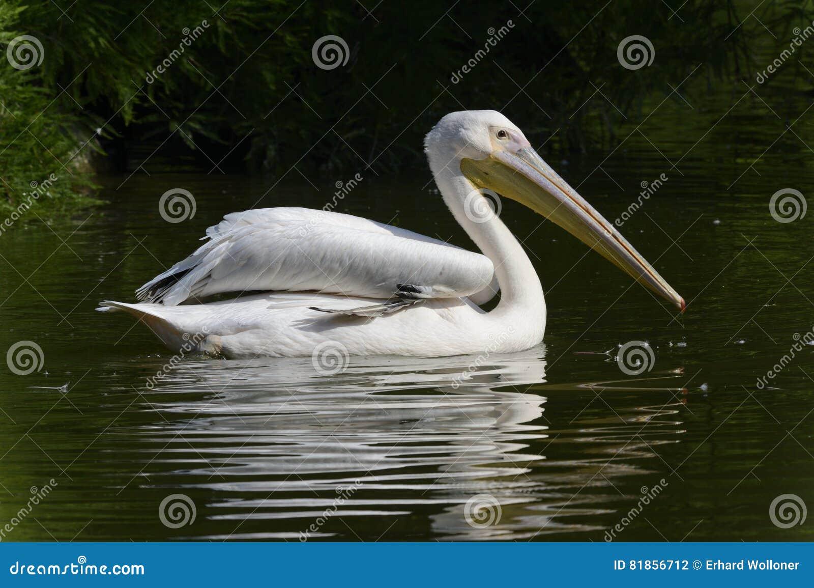 Pływacki pelikan