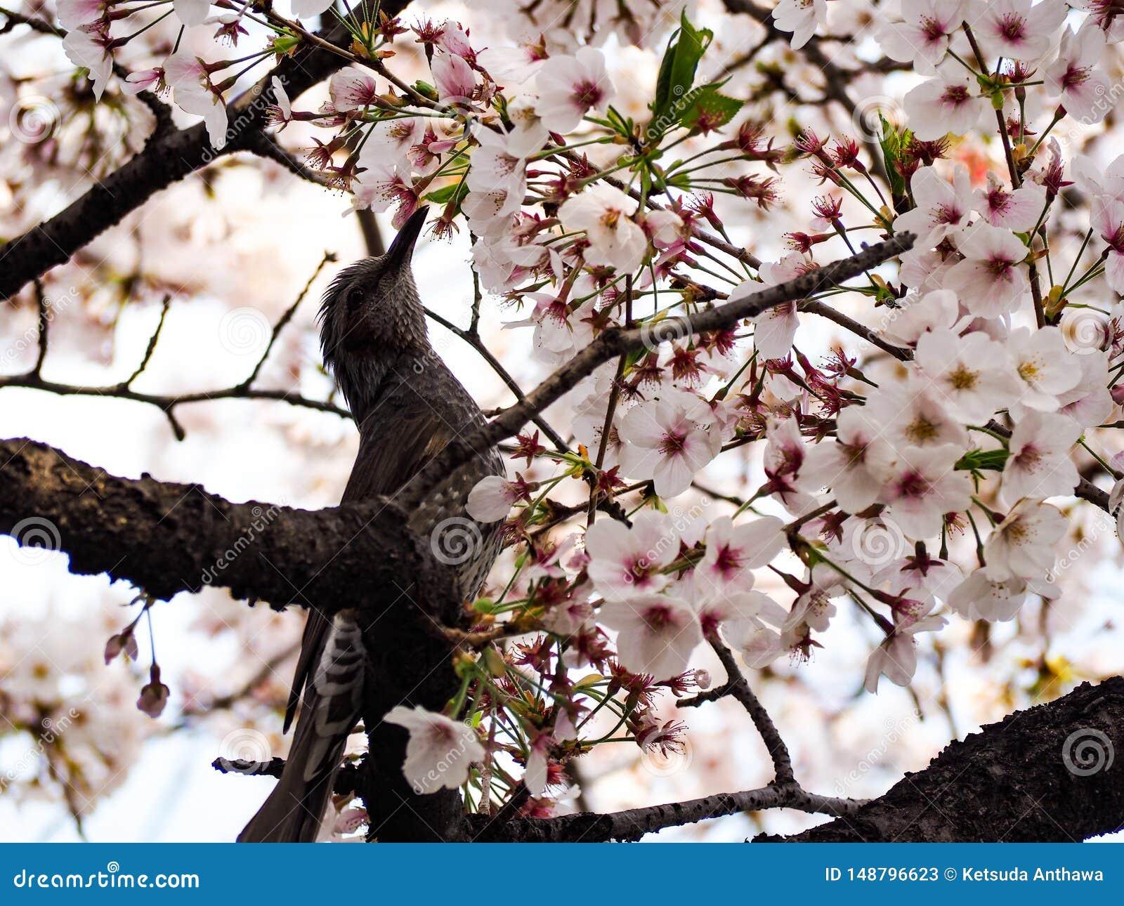 P?jaro con Sakura Peque?o p?jaro en primavera con la flor Sakura de la cereza del flor