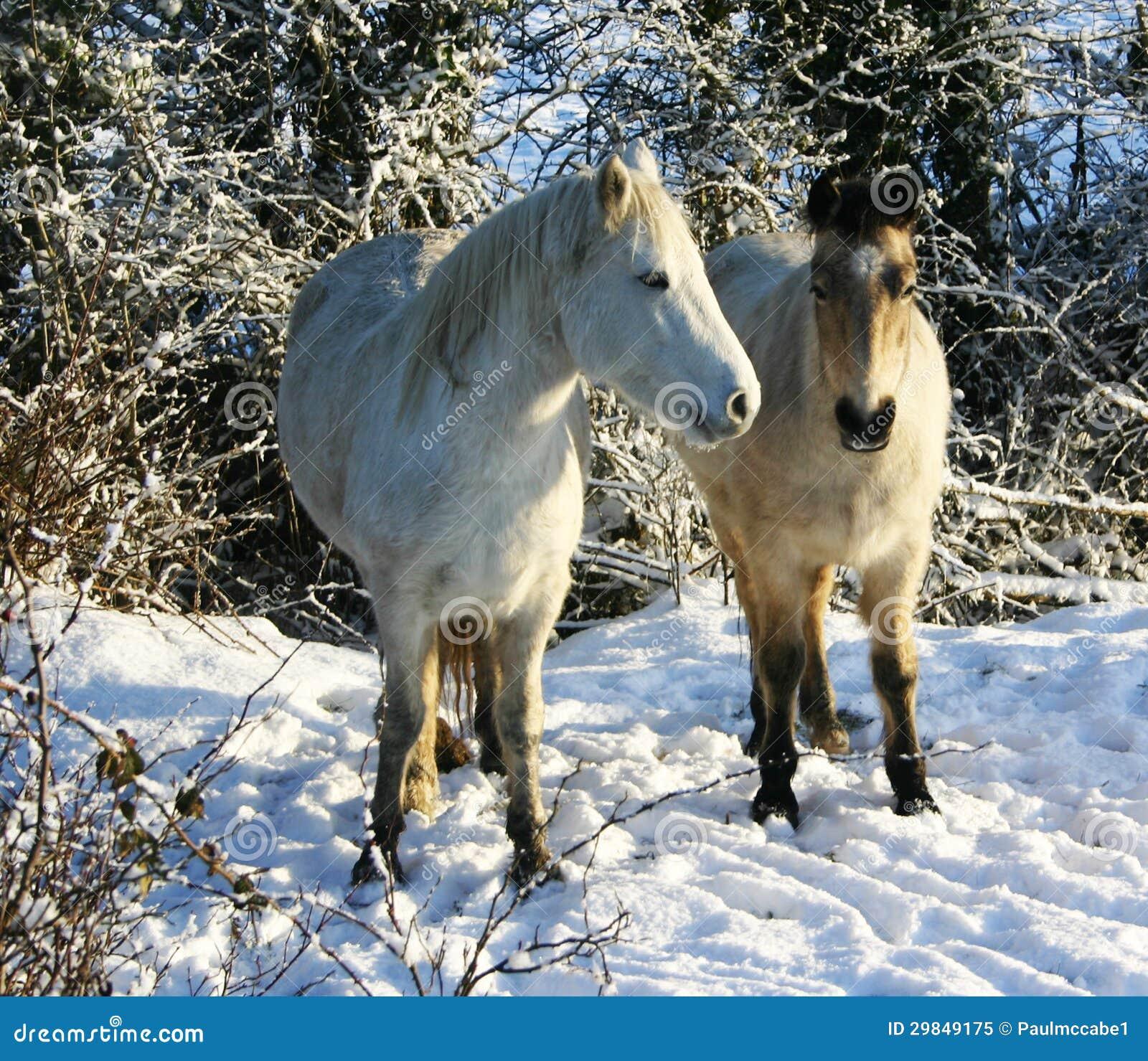 Pôneis brancos na neve