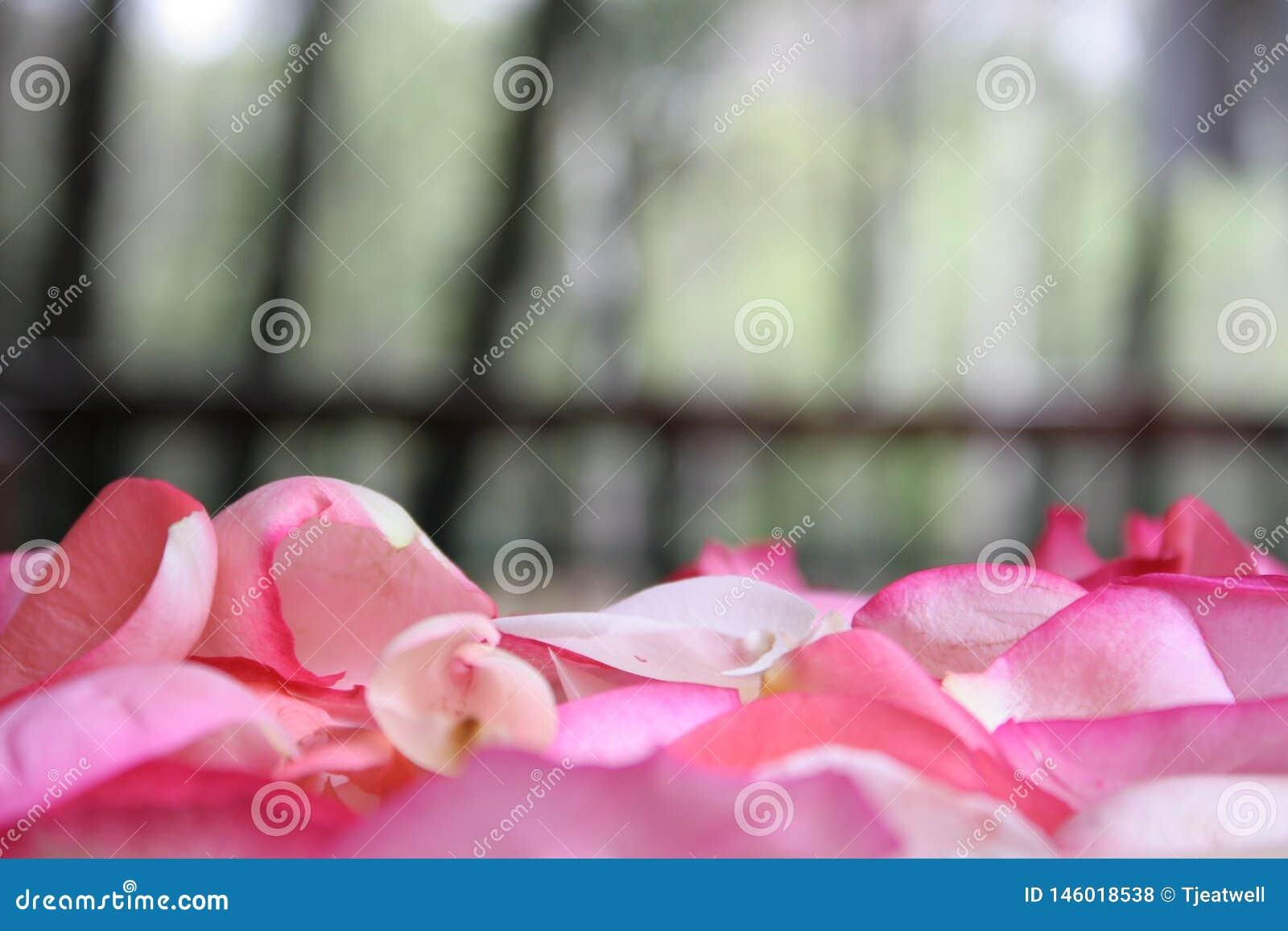 P?talos de Rose rosados 01
