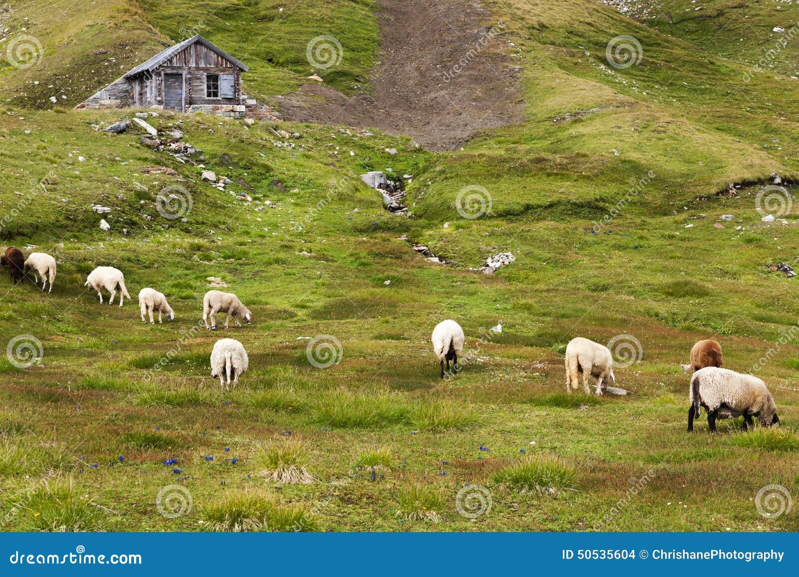 Paśniki cakle na Grossglockner Wysokiej Alpejskiej drodze