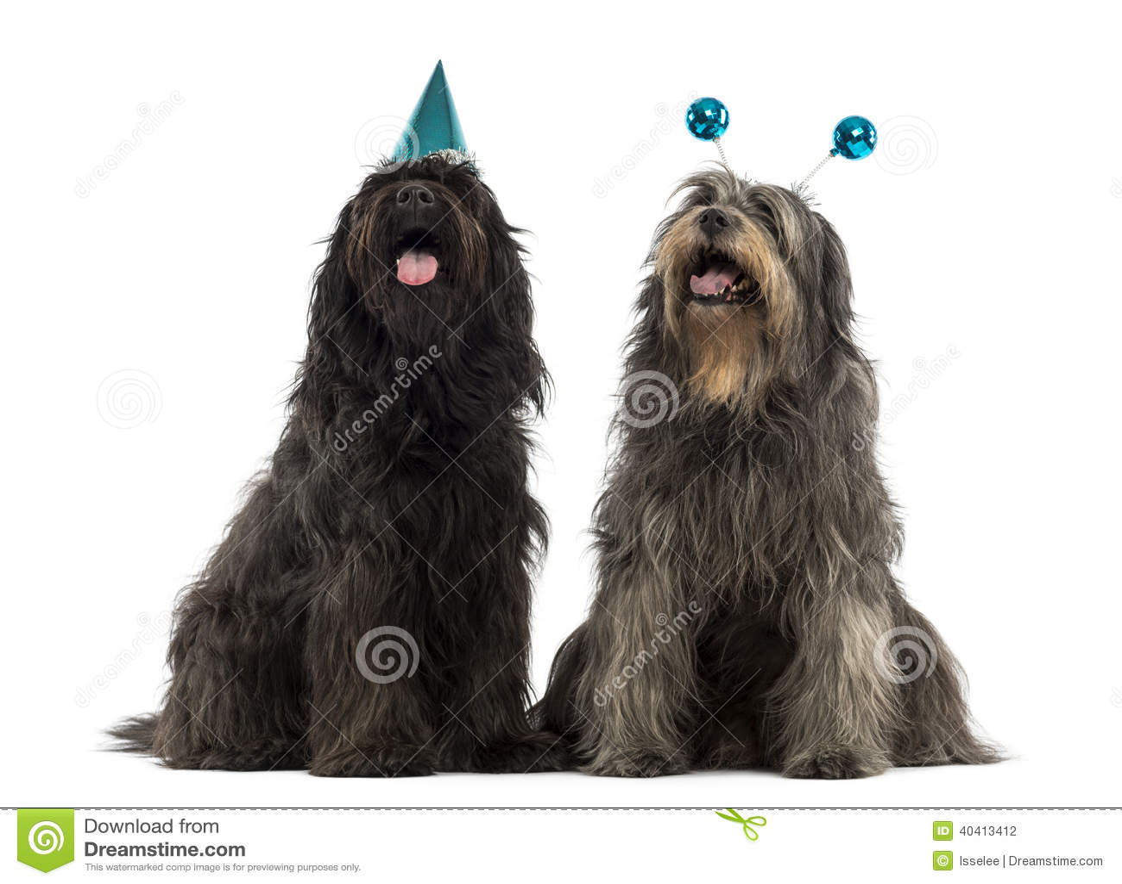 Paar die van Catalaanse herdershonden partijhoeden, het hijgen dragen