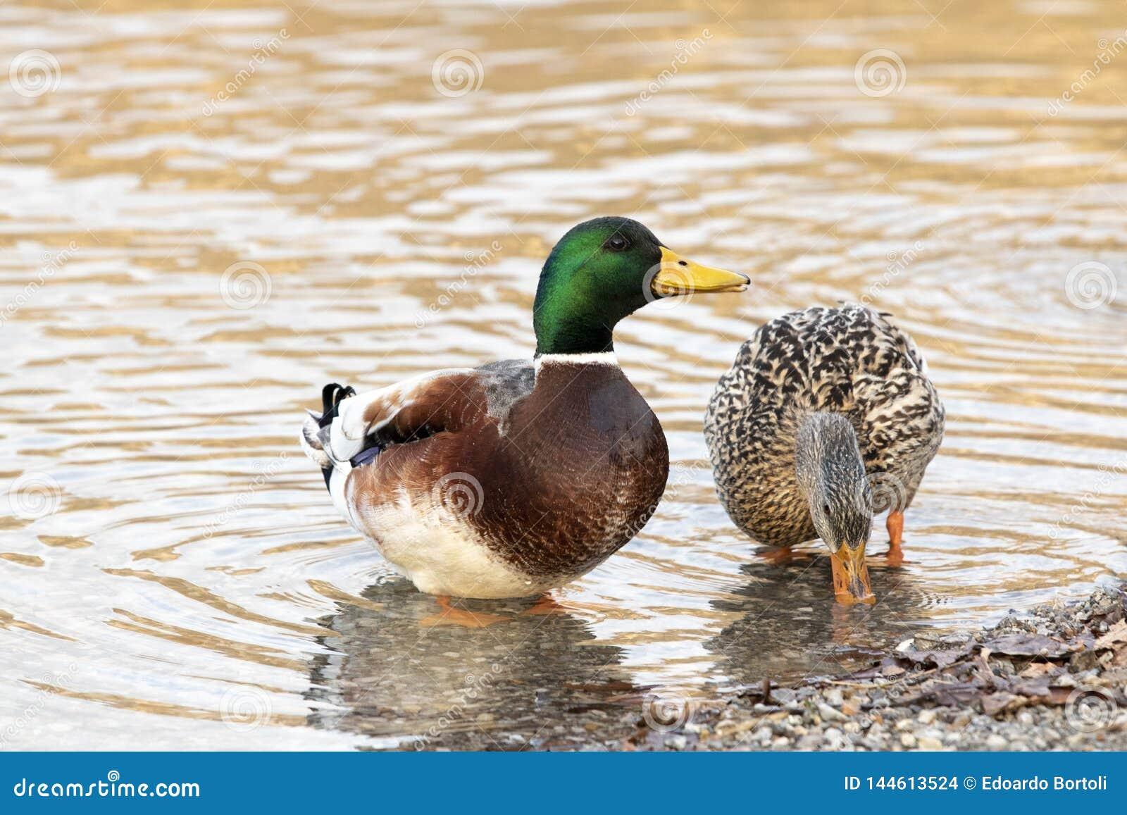 Paar eenden bij het meer