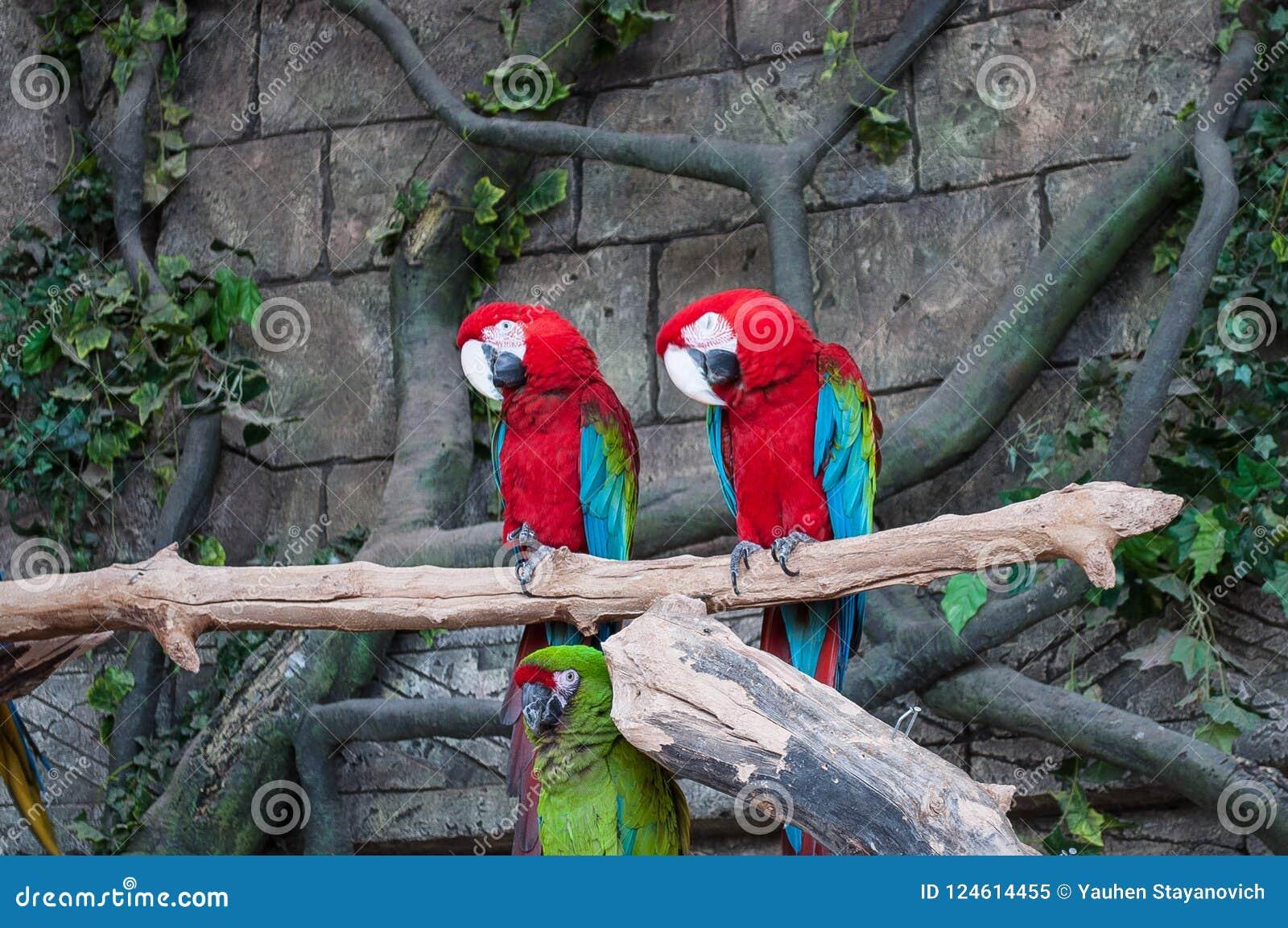 Paar grote Scharlaken Rode Ara s, Aronskelken die Macao, twee vogels op de tak zitten Het wildscène van tropische bosaard Beauti