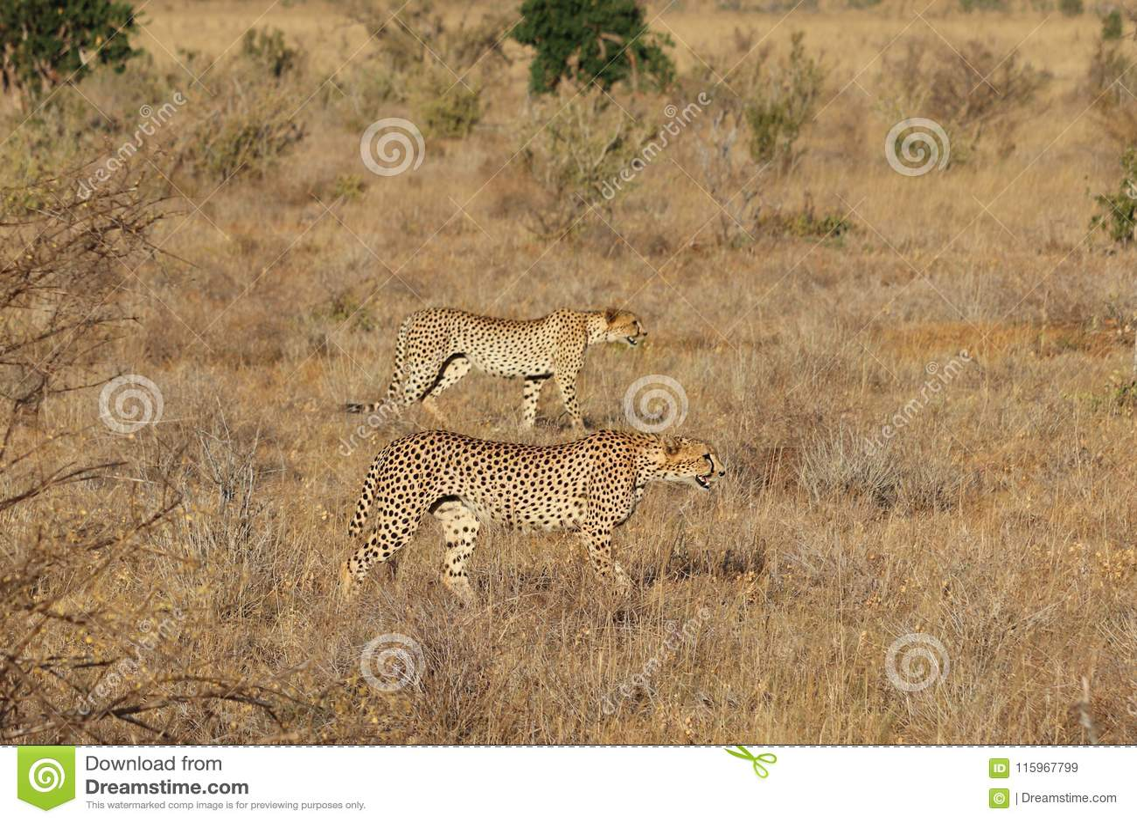 Paar jachtluipaarden op de jacht