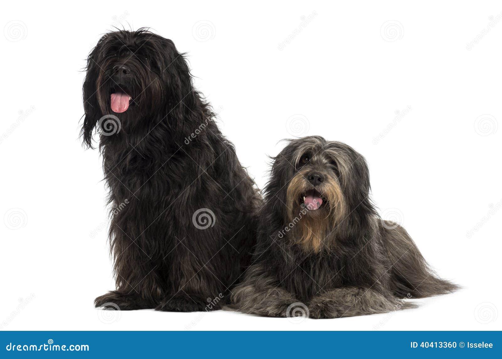 Paar van Catalaanse herdershonden die, het hijgen samen zijn