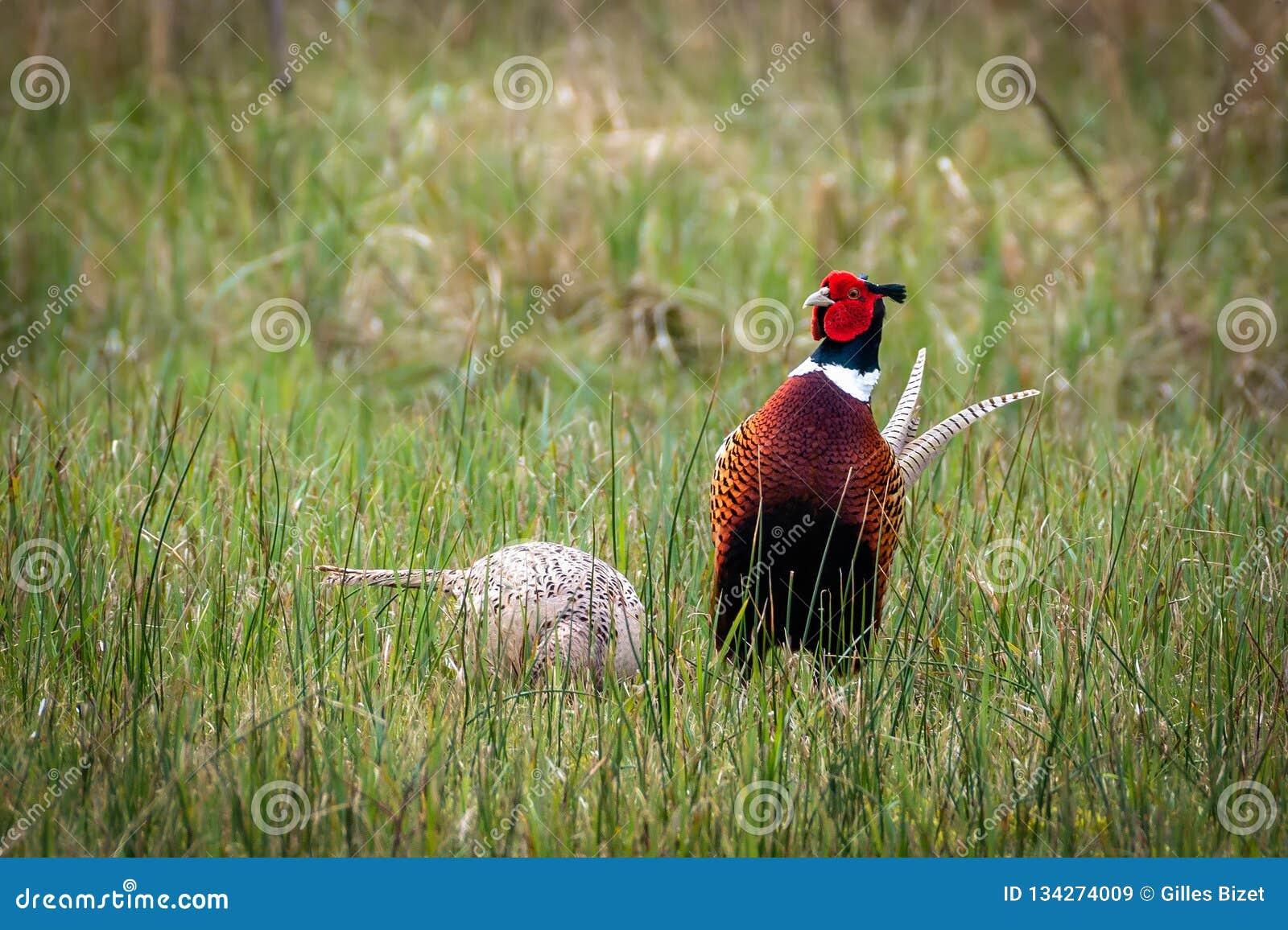 Paar van fazanten in de weide