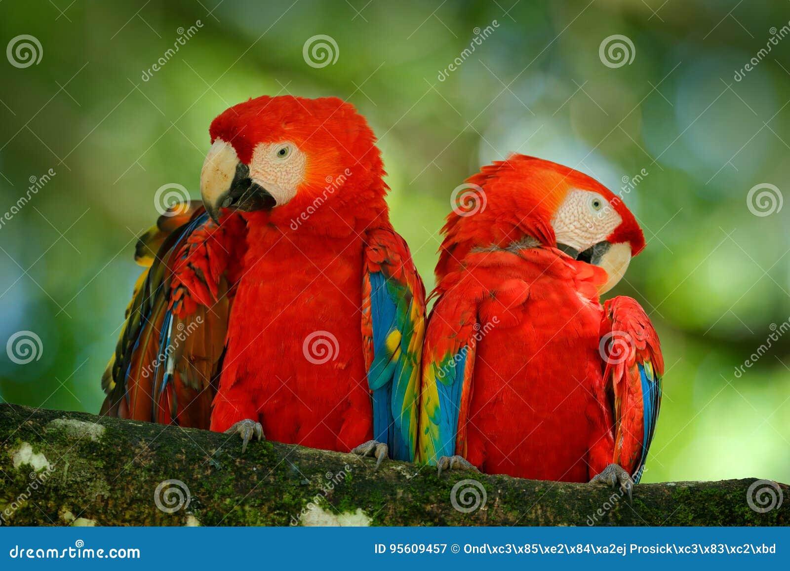 Paar van grote papegaai Scharlaken Ara, Aronskelken die Macao, twee vogels op tak, Brazilië zitten De scène van de het wildliefde