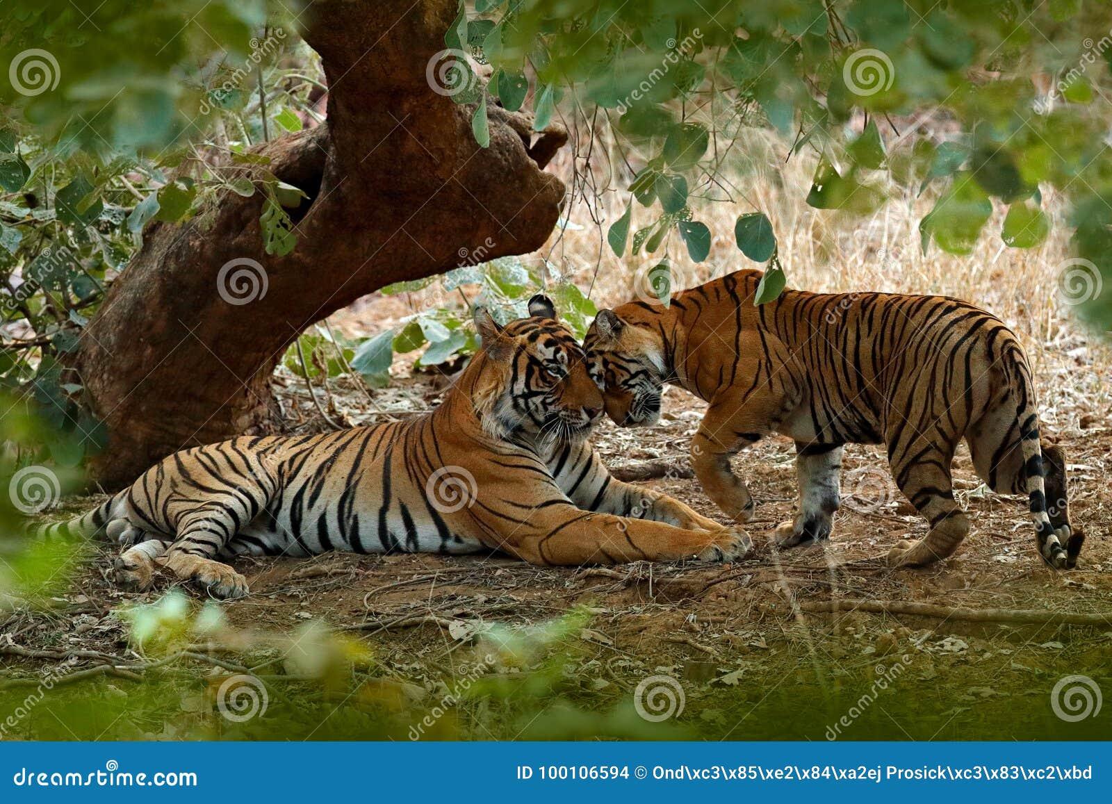 Paar van Indische tijger, mannetje in linker, wijfje in recht, eerste regen, wild dier, aardhabitat, Ranthambore, India Grote end