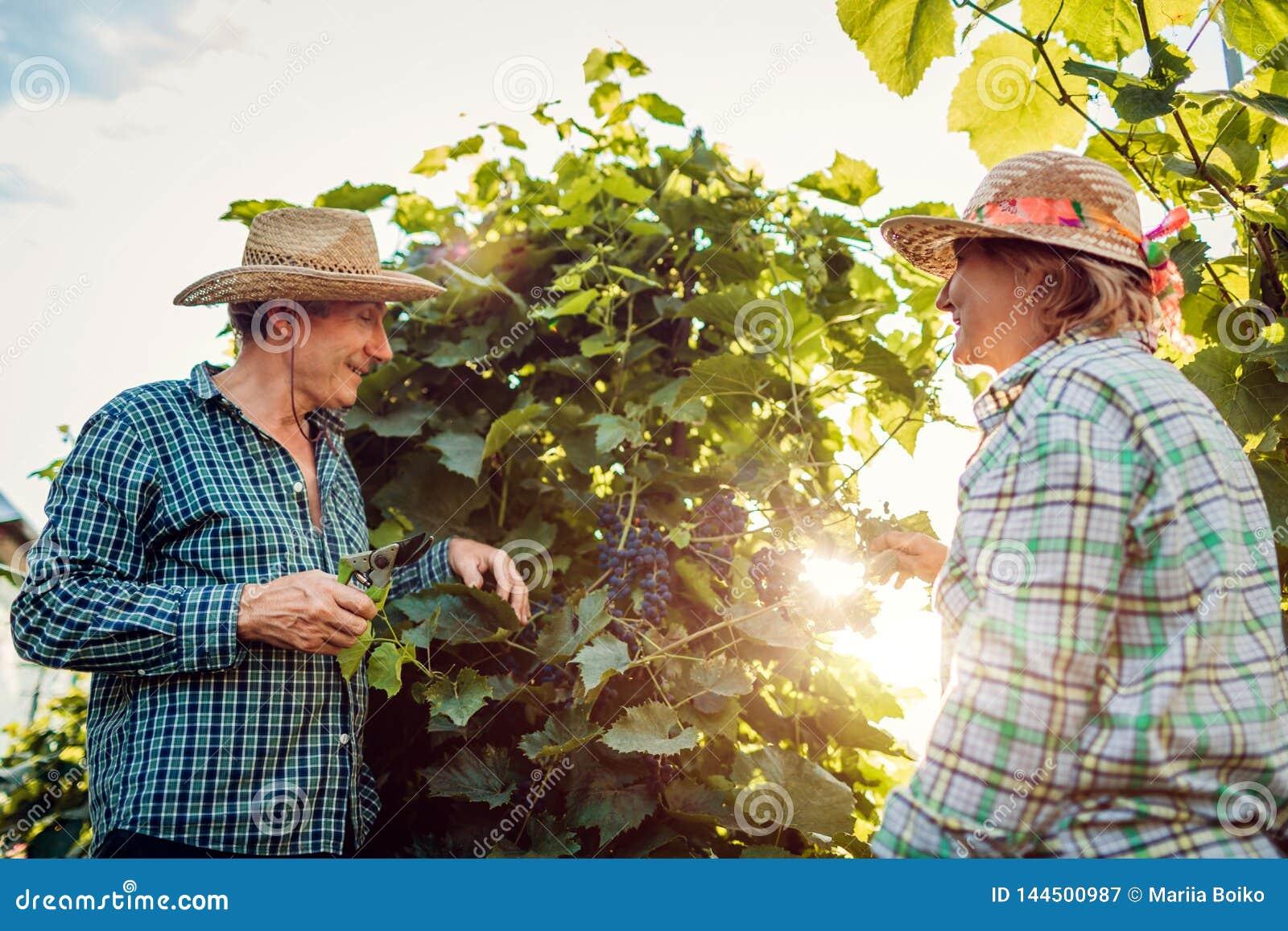 Paar van landbouwers die gewas van druiven controleren op ecologisch landbouwbedrijf De gelukkige hogere man en de vrouw verzamel