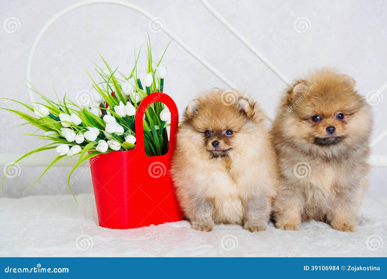 Paar van leuke spitz puppy