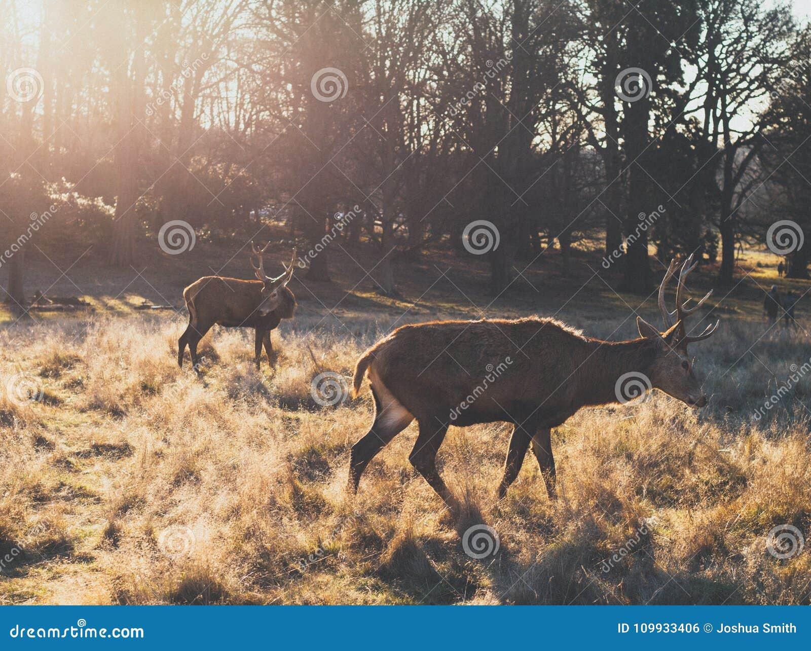Paar van rood hertenmannetje tijdens zonsopgang