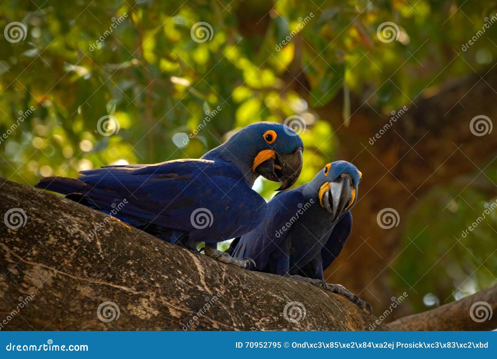Paar van zeldzame vogel, blauwe papegaai Hyacinth Macaw in nestboom in Pantanal, boomgat, dier in de aardhabitat, Brazilië