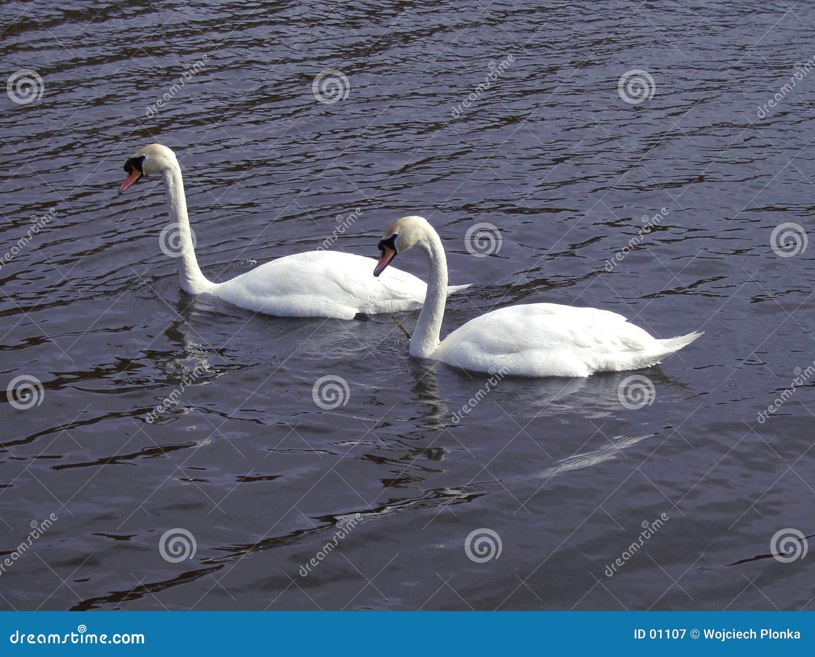 Paar van zwanen