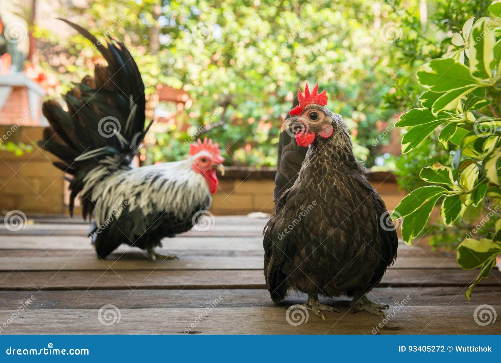 grote zwarte hanen en witte kuikens gratis video van Sex