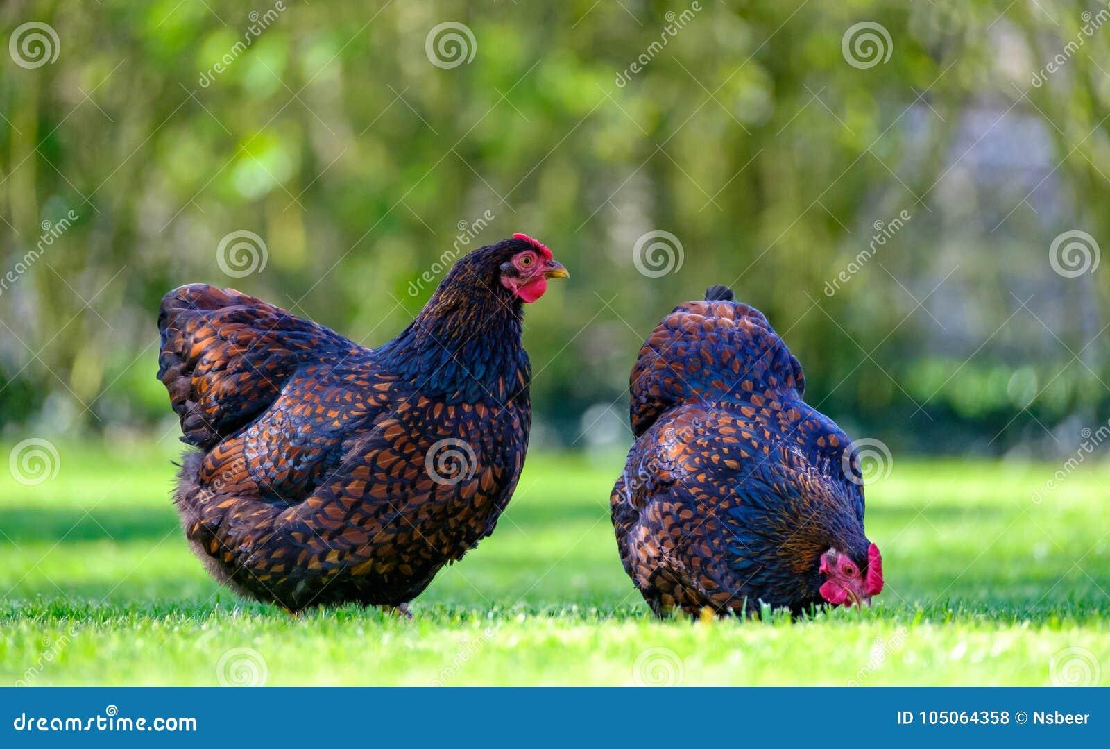 Paar volwassen Wynadotte-kippen gezien zoekend voedsel in een tuin