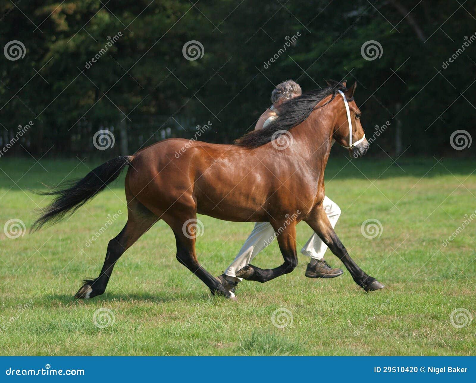 Paard in de Ring van de Show