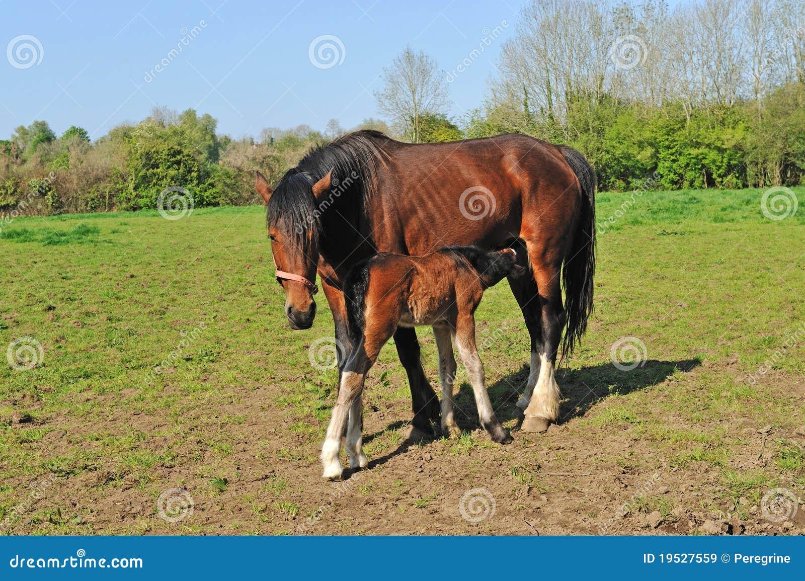 Paard met jong veulen