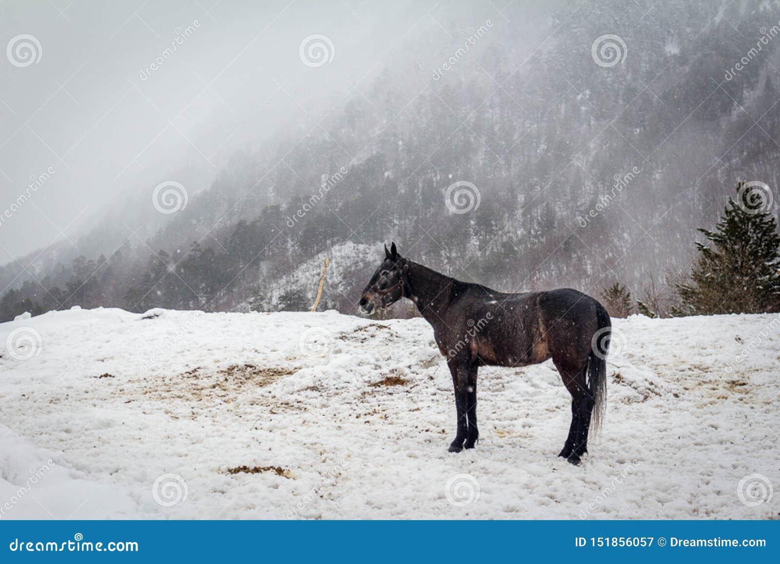 Paard in mist in Cheget, Elbrus