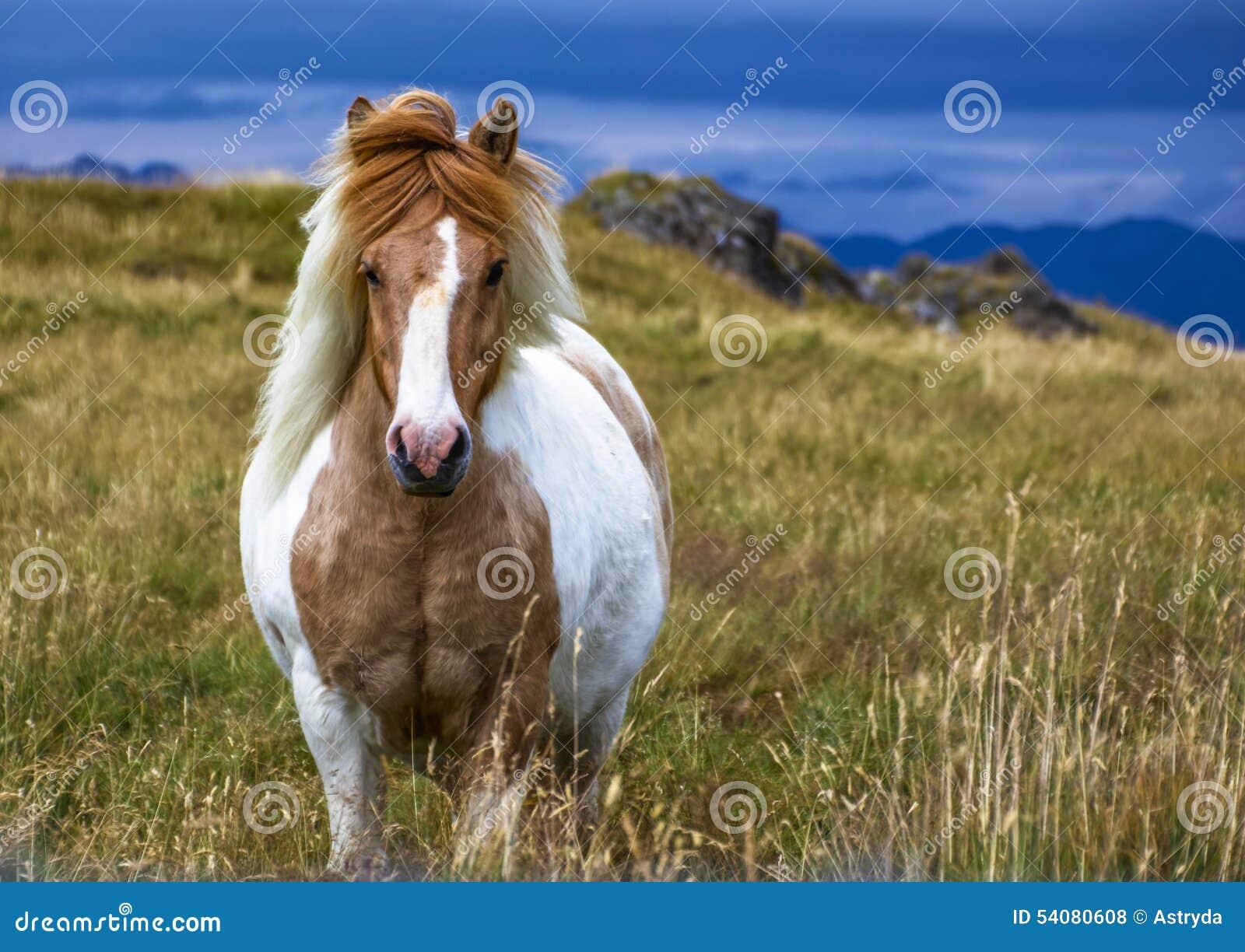 Paard van IJsland