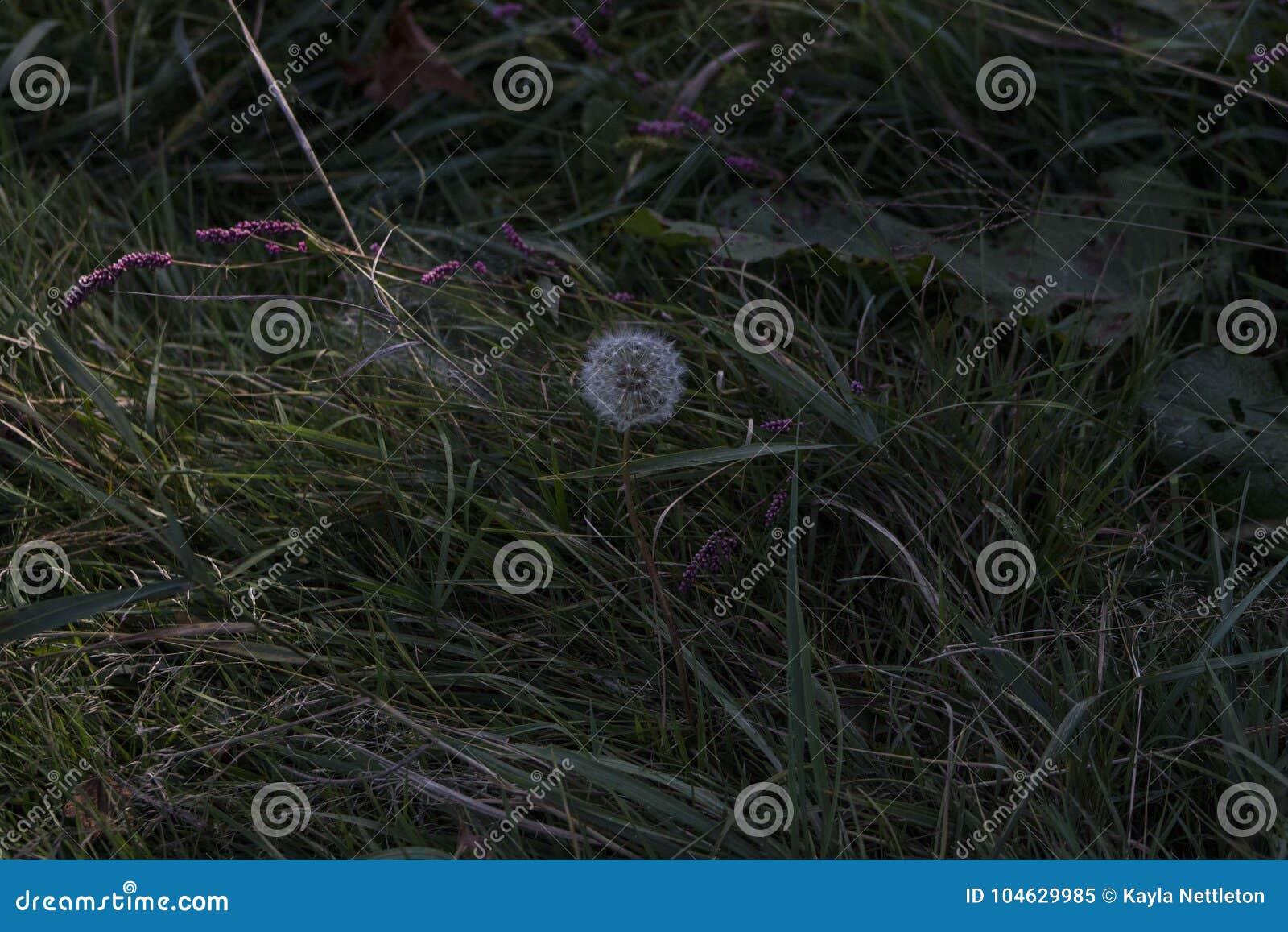 Download Paardebloem Alleen In Het Gras Stock Afbeelding - Afbeelding bestaande uit paardebloem, muggy: 104629985